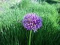Allium stipitatum of Alvan.jpg
