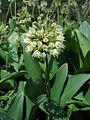 Allium victorialis PID1416-2.jpg