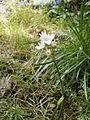 Allium zebdanense04.jpg