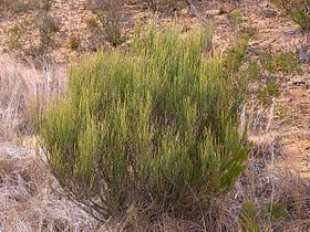 Allocasuarina Kings Tableland.jpg