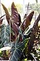 Alocasia watsoniana 3zz.jpg
