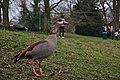 Alopochen aegyptiaca and a jogger in parc Tenreuken (Auderghem, Belgium, DSCF2970).jpg