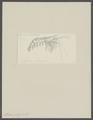Alpheus pelagicus - - Print - Iconographia Zoologica - Special Collections University of Amsterdam - UBAINV0274 097 06 0007.tif