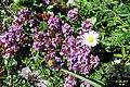 Alpine flora (Gru) (37590745611).jpg