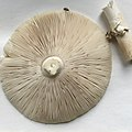 Amanita gemmata 20310673.jpg