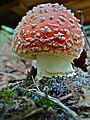 Amanita muscaria (9).jpg