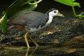 Amaurornis phoenicurus - Singapore Botanic Gardens.jpg