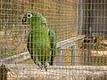 Amazona farinosa -Paphos Zoo-6.jpg