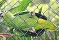 Amazona farinosa 2zz.jpg