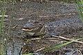 American Alligator Anahuack NWR High Island TX 2018-03-29 12-14-48 (39407769450).jpg