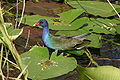 American Purple Gallinule in water.jpg
