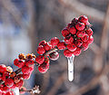 American Winterberry Ilex verticillata 'Winter Red' Frozen 2281px.jpg