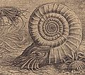 Ammonit2.jpg