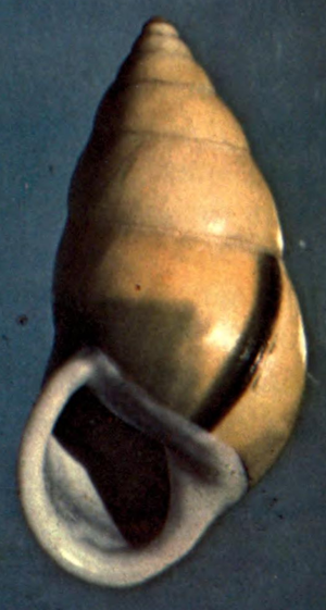 Amphidromus perversus - apertural view of the shell of paratype of Amphidromus perversus butoti showing infraviridis color pattern.
