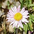An alpine daisy sp. (Gru) (31813935652).jpg