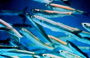 Oily fish - Most small forage fish, like these schooling anchovies, are also oily fish.