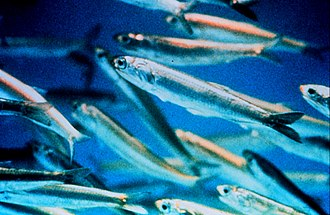 Forage fish - Image: Anchovy closeup