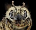 Andrena barbilabris face.jpg