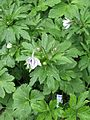 Anemone leveilei - Flickr - peganum (3).jpg