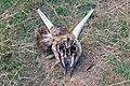 Animal head in Sierra Nevada National Park (DSCF5481).jpg