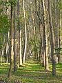 Ankara ağaç.JPG