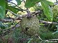 Annona montana, aticum - Flickr - Tarciso Leão (5).jpg
