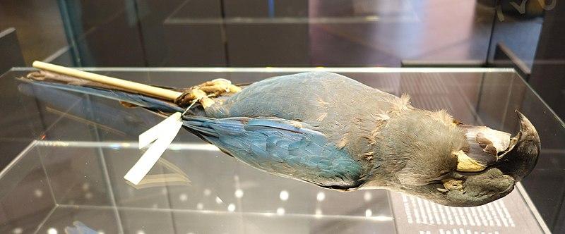 File:Anodorhynchus glaucus stuffed specimen Berlin 2018 1.jpg