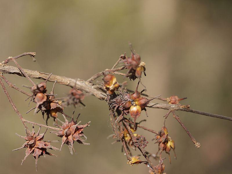 File:Anogeissus latifolia (7051099985).jpg