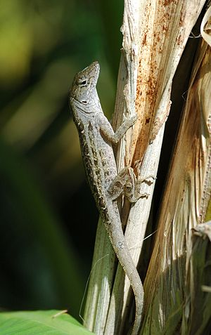 Macro shot of a brown anole (Anolis sagrei)
