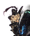 Anoplotrupes stercorosus claw 9127.jpg