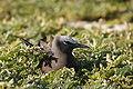 Anous stolidus nesting.JPG
