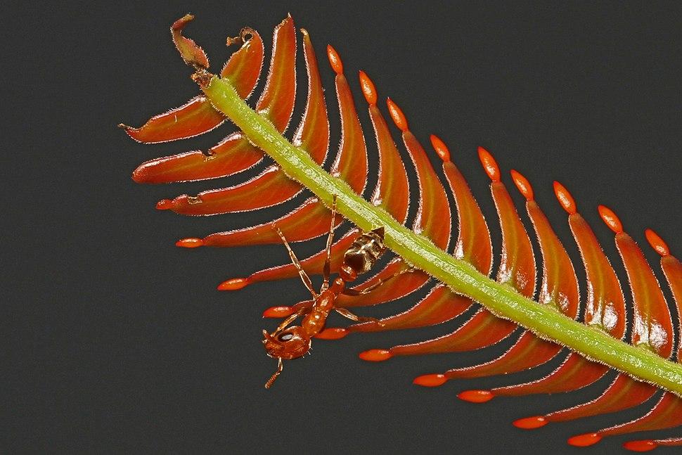Ant - Pseudomyrmex species, on Bull Thorn Acacia (Acacia cornigera) with Beltian bodies, Caves Branch Jungle Lodge, Belmopan, Belize - 8505045055