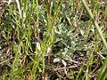 Antennaria microphylla (3619067579).jpg