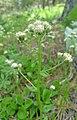 Antennaria racemosa 2.jpg