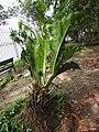 Anthurium coriaceum giant paddle leaf plant-3-AJCBIBG-howrah-India.jpg
