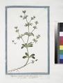 Aparine Supina, pumila, flore cruleo - Speronella - Gratteron. (Goose grass) (NYPL b14444147-1125007).tiff