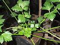Apium graveolens-yercaud-salem-India.JPG