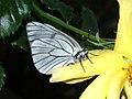 Aporia crataegi - Black-veined white - Боярышница (40281456185).jpg