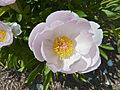 Apple Blossom Peony, Close-Up.jpg