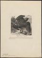 Aquila chrysaëtos - 1700-1880 - Print - Iconographia Zoologica - Special Collections University of Amsterdam - UBA01 IZ18100183.tif