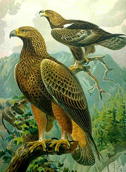 Aquila chrysaetos large drawing.jpg