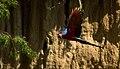 Ara chloropterus -Peru -flying-8d.jpg