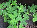 Arachis pintoi plant2 (9528216698).jpg