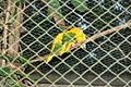 Ararajuba 310710 REFON 5.JPG