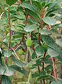 Arbutus unedo Compacta1.jpg