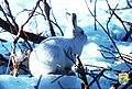 Arctic Hare (8247630184).jpg