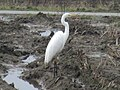 Ardea alba (Ardeidae) - (adult), Arnhem, the Netherlands.jpg