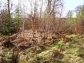 Ardkinglas Forest - geograph.org.uk - 181649.jpg
