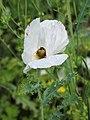 Argemone grandiflora Argemon wielkokwiatowy 2019-08-03 01.jpg