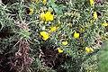 Argiope bruennichi. Araña viéspora.jpg